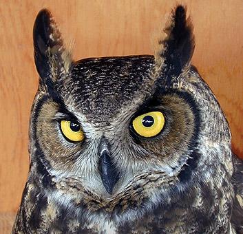 Montana Raptors Birds Of Prey Hawk Eagle Owl Falcon