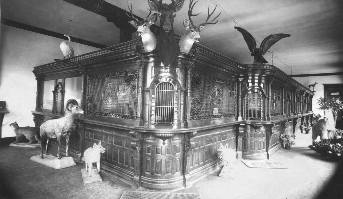 Butte Bank interior, 1910, with its many taxidermy mounts reflects the wealth of banks in Butte at this time. The Milwaukee Railroad had opened many lands to newcomers and banks were generous in their loans. Butte, large and prosperous from mining, flaunted its riches. Source: Museum of the Rockies Photo Archive