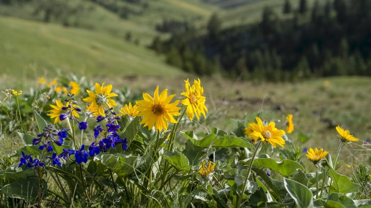 Flowers at the National Bison Range