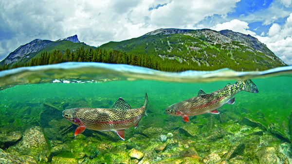 Rainbow trout by Pat Clayton