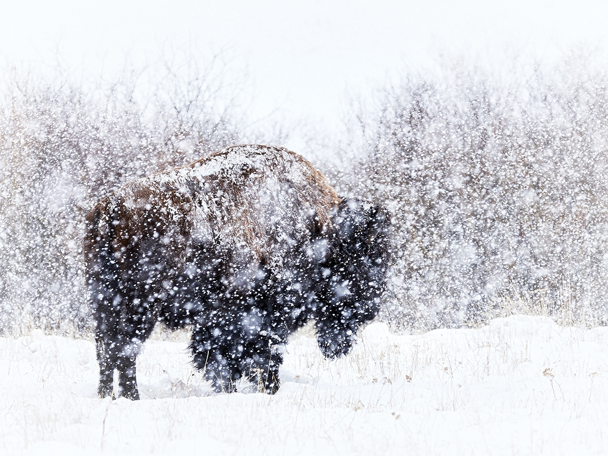 Bison in the Snow by Matt Suess