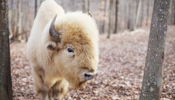 White Buffalo in Forest