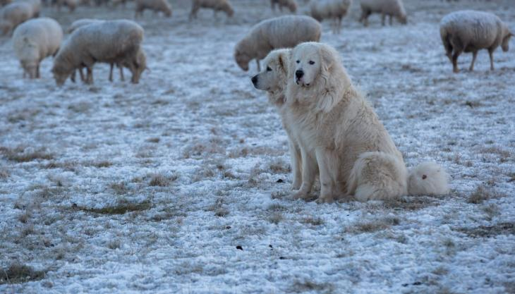 Great pyrenees sheep dogs