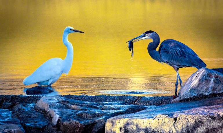Great White Egret and a Blue Heron