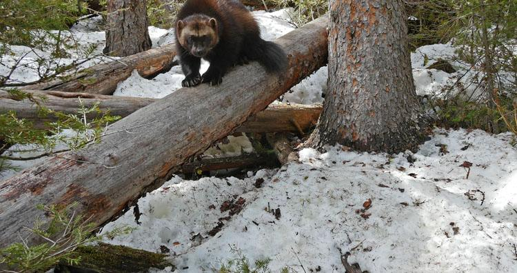 Wolverine on log looking at camera