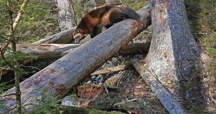 Wolverine Sniffing Log