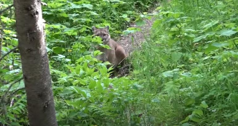 Trevor Rasmussen and Mountain Lion at Glacier National Park