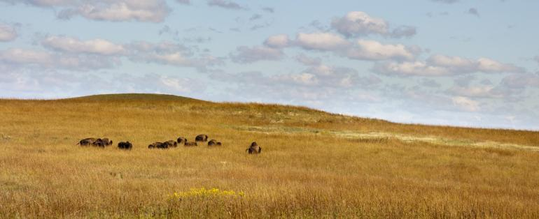 Bison in golden field
