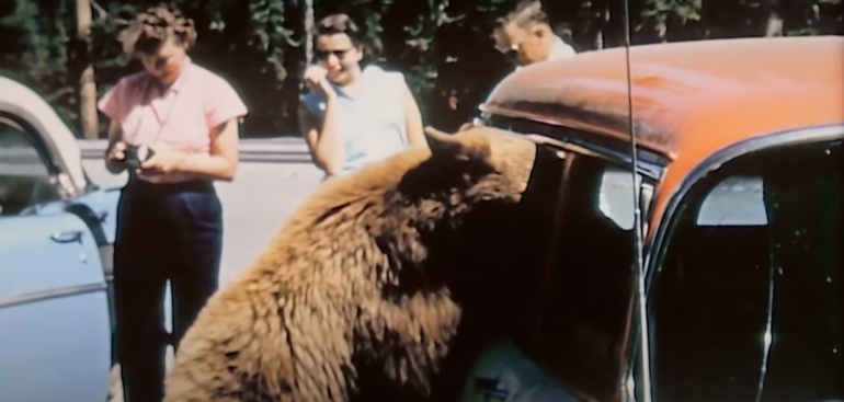 Grizzly with head in car, Yellowstone in the 1950s
