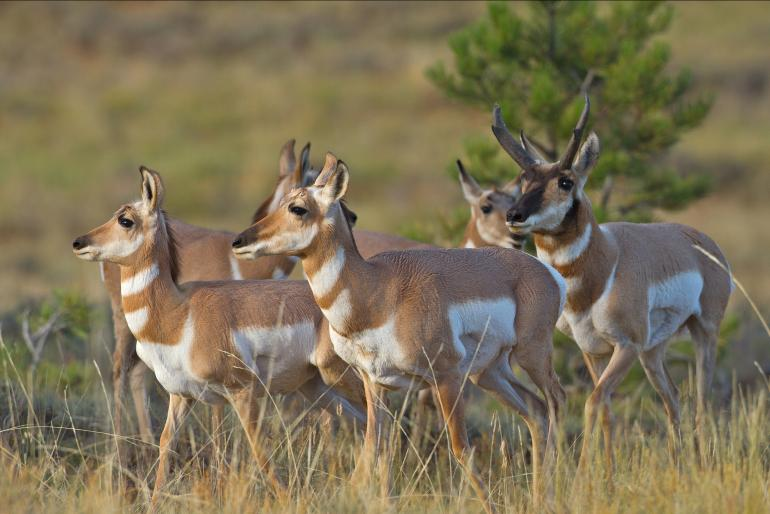 Carol Polich - The dominant buck herds his harem of does