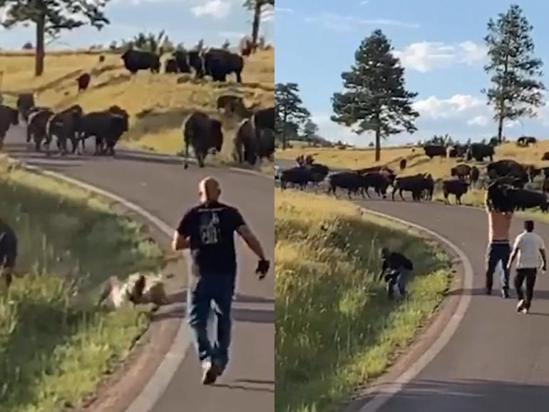 Aftermath of Bison Attack