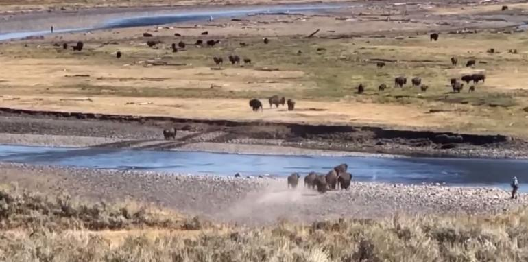 Tourists too close to bison