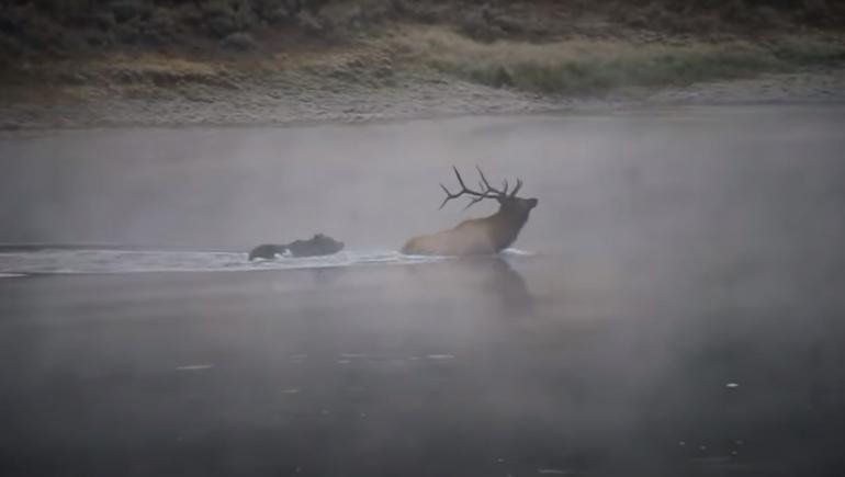 As the elk forges across the river, the bear quickly closes in, and the elk is forced to turn and face the existential threat head-on, using his rack to try and fend the bear off. He only gets one chance, and the lucky grizzly easily slips past the antlers, immediately latching onto the elk's back and clamping down with his powerful jaws. Scientists have estimated that a grizzly bite is powerful enough to crush a bowling ball.