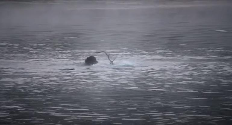 Elk vs. Grizzly in the Yellowstone River