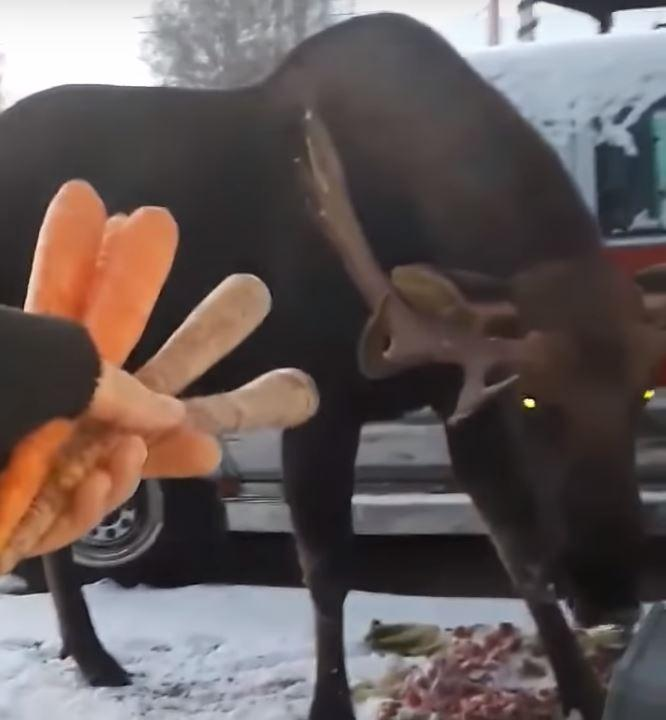 Please Do Not Feed The Moose