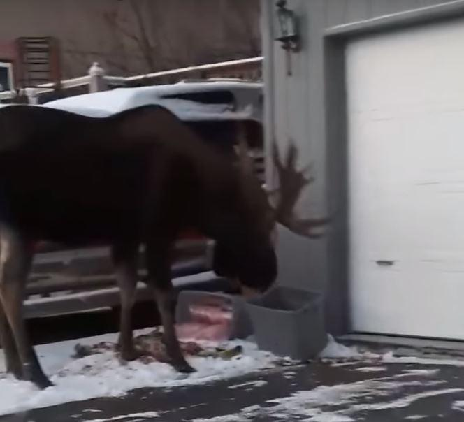 Moose Eating Compost