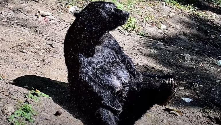 Showering bear with leg up