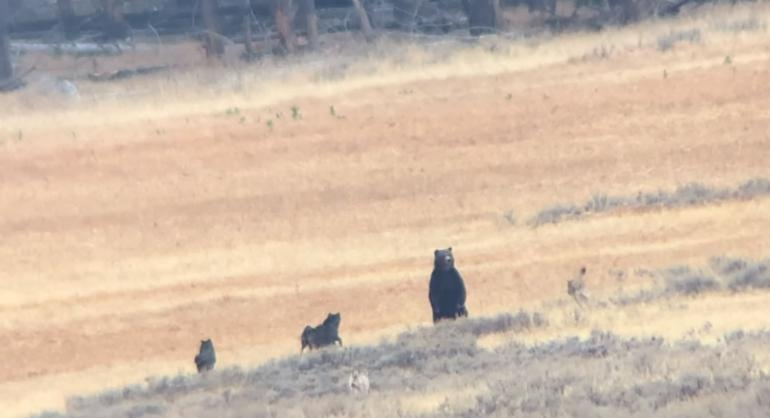 Bear and wolves in Yellowstone