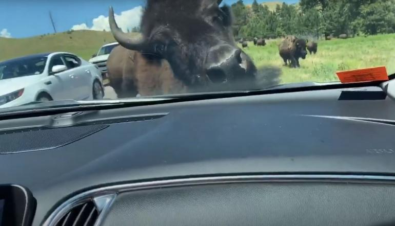 Bison and car
