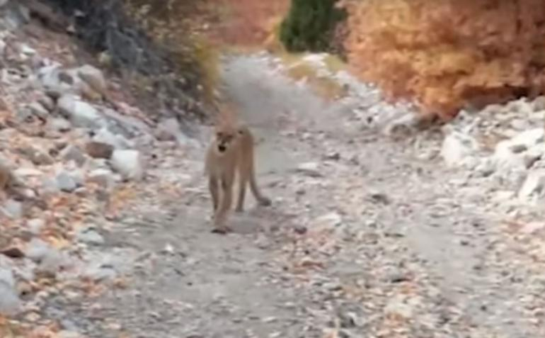 Cougar on hiking trail