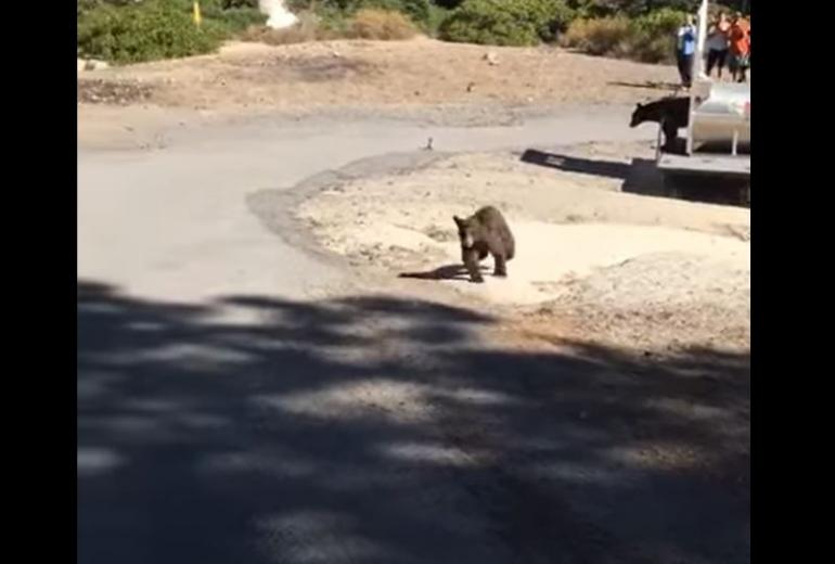 Bear release gone wrong