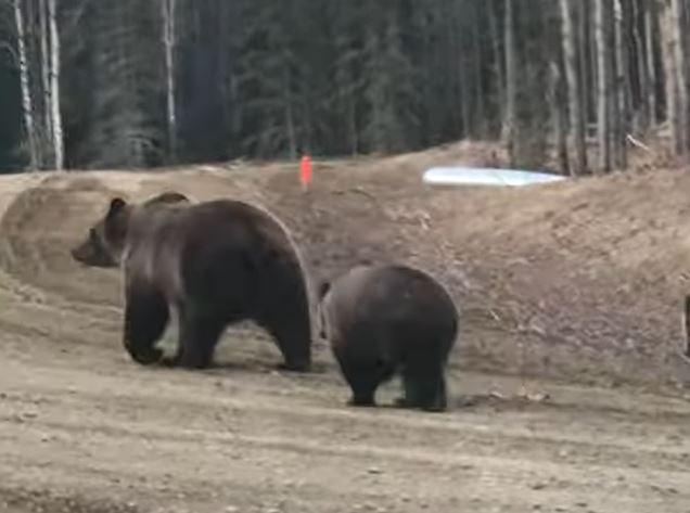 Bear walking away from truck
