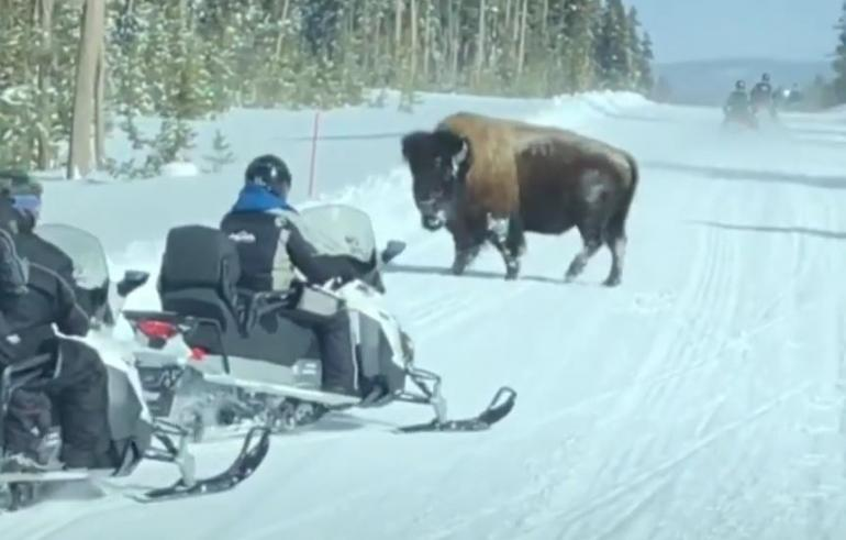 Bison vs snowmobile