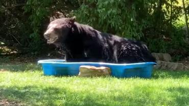 Black Bear in a Kiddie Pool