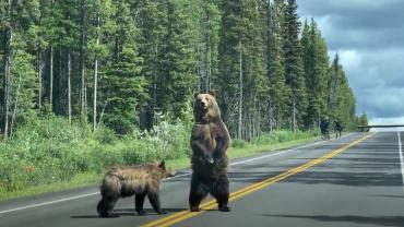 Grizzlies crossing the road