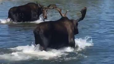 Moose at Play at Georgetown lake!!