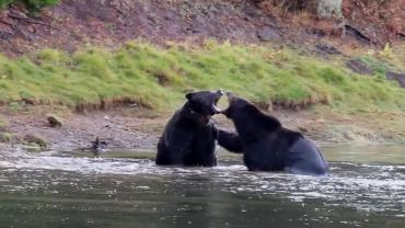 Grizzly fight over elk