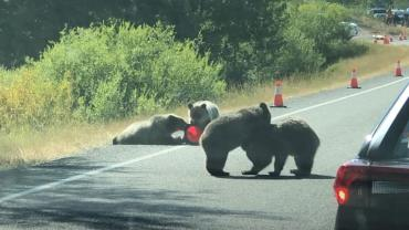 Griz 399's cubs on road