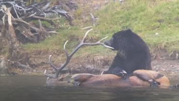 Grizzly eats elk