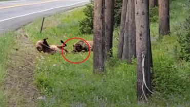 Bear kills elk