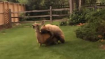 Bear kills deer in backyard