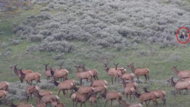 Bear with elk herd