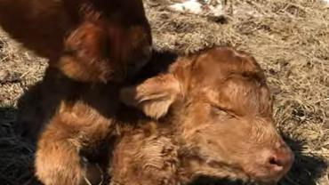 Heifer born with heart in neck