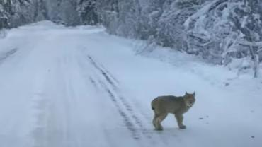 Bobcat in the road