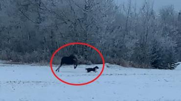 Moose chasing dog