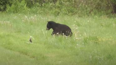 bear vs skunk
