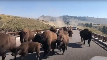 bison on bridge