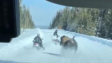Bison charges snowmobile