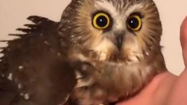 Trapped owl
