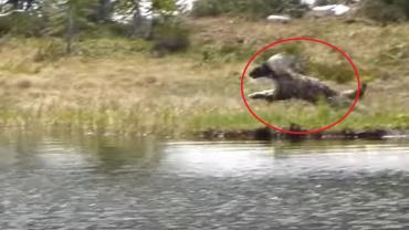 Wolverine hunting with red circle