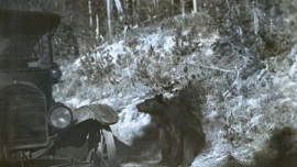 Bear approaching car in Yellowstone, early 1900s