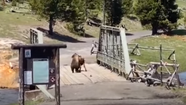 Bear VS Bison in Yellowstone