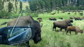 Adrift in a sea of bison