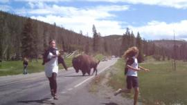 Bison charges Yellowstone tourists
