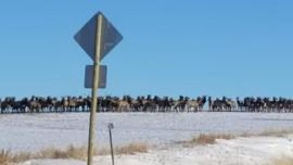 Elk crossing road