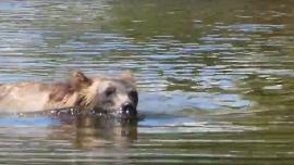 Grizzly bear swimming in Glacier